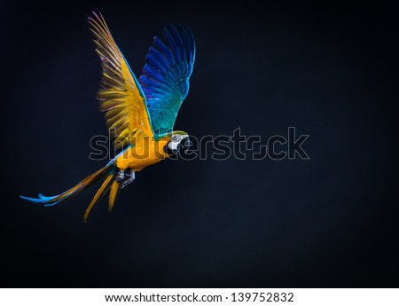 Colourful flying Ara on a dark background - stock photo