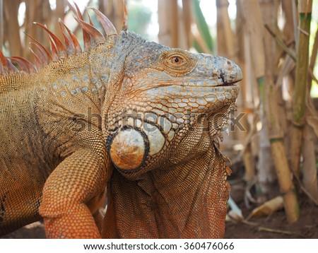Colourful Iguana, Tenerife - stock photo