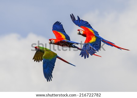 Colourful Macaws in flight - stock photo