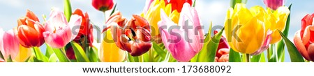 Colourful panoramic spring banner of fresh tulips in vibrant yellow, pink and red growing in a field under a sunny blue sky, closeup of the fragile petals - stock photo