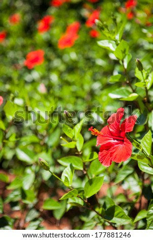 Colourful red tropical hibiscus flower growing on a green leafy shrub in the garden - stock photo