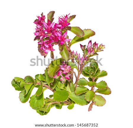 Colourful star-shaped pink flowers of the Sedum causticola plant, or Stonecrop, a succulent groundcover that flowers in summer and autumn and is cultivated in many gardens, isolated on white - stock photo