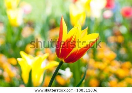 colourful tulip - stock photo