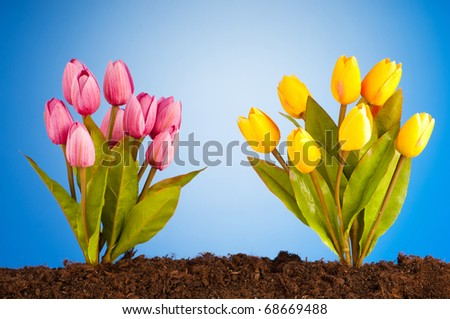 Colourful tulip flowers growing in the soil