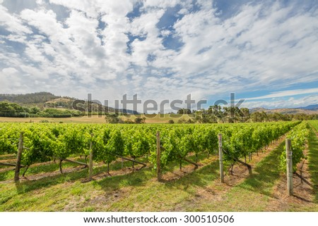 Colourful vineyard Landscape in the area between Richmond, Cambridge and Hobart in Tasmania, Australia. - stock photo