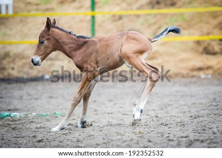 Colt (2-day) walks and played in paddock - stock photo
