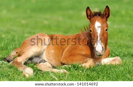 Colt on a meadow in summer day - stock photo
