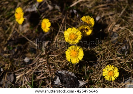 Colts foot flower yellow bloom in spring Alps
