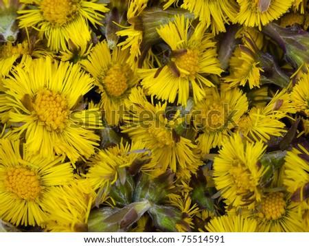 Colts Foot or Tussilago farfara background texture - stock photo