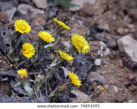 Colts Foot orTussilago farfara on gravel - stock photo