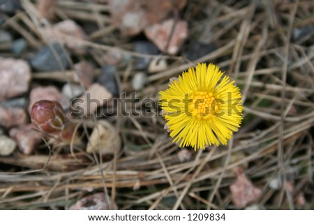 Coltsfoot - stock photo