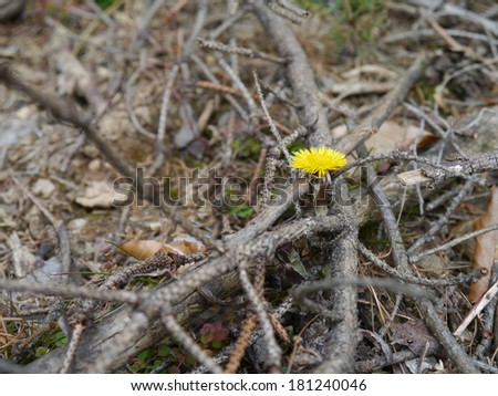 coltsfoot flowers in spring - stock photo