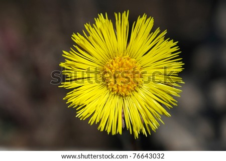 Coltsfoot FlowerTussilago farfara - stock photo