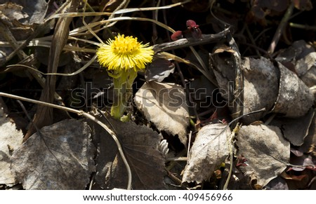 Coltsfoot (lat. Tussilago farfara) - yellow spring flowers. Medicinal plant, blossoming at the beginning of spring.