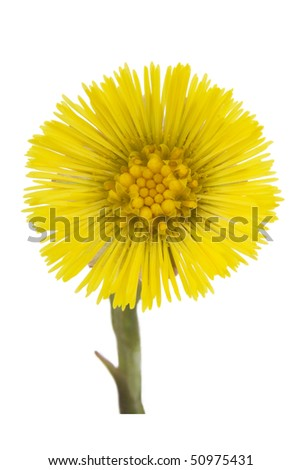 Coltsfoot medical- Tussilago farfara on white background.