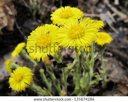 Coltsfoot (Tussilago farfara L.) flowers in the spring forest - stock photo