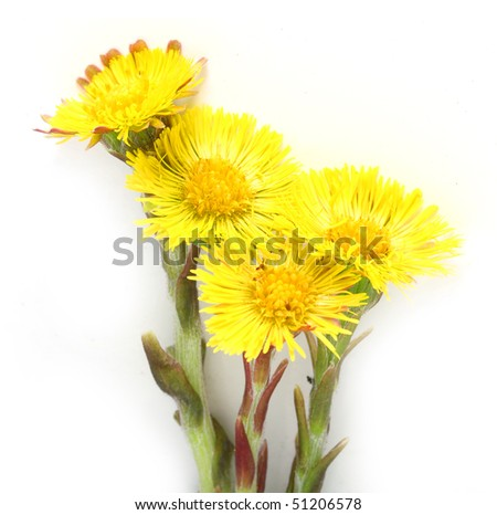 Coltsfoot (Tussilago farfara) the plant has been used historically to treat lung ailments such as asthma as well as various coughs by way of drinking herbal tea. - stock photo