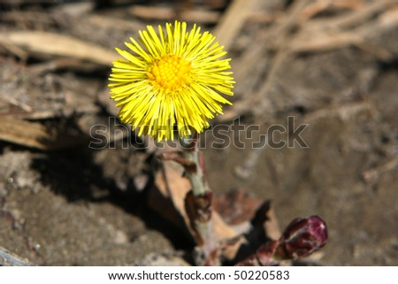 Coltsfoot Wildflower - stock photo