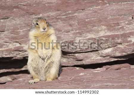 Columbian Ground Squirrel in Glacier National Park, along the hiking trail at Logan Pass; Montana wildlife photography