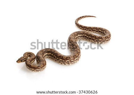 Columbian Rainbow Boa (Epicrates cenchria maurus) isolated on white background.