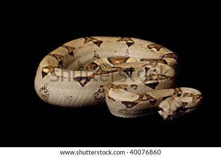 Columbian red-tailed boa (Boa constrictor constrictor) isolated on black background. - stock photo