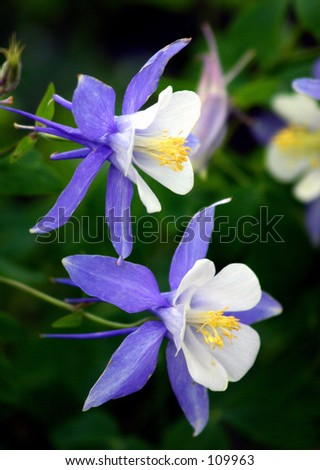 columbine - stock photo