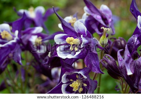 Columbine are wet after a rain shower. - stock photo