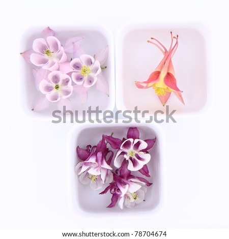 Columbine flowers floating in bowls on white background - stock photo