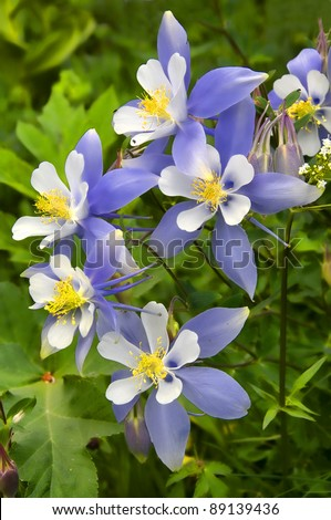 Columbines found in the mountains of Colorado