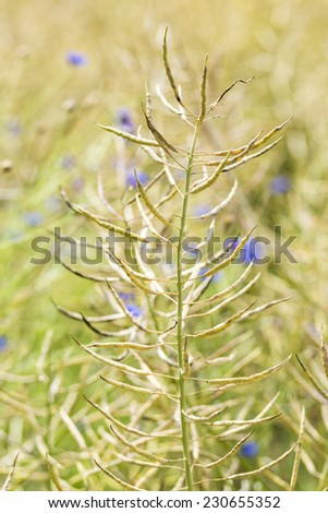 Colza field in north Poland.Selective focus/Colza Seeds Plant - stock photo