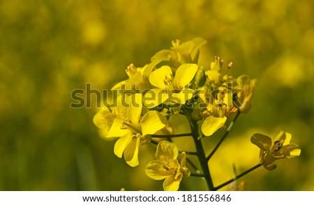 colza flower   - stock photo