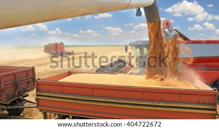 Combine harvesters transferring freshly harvested wheat to tractor-trailer for transport