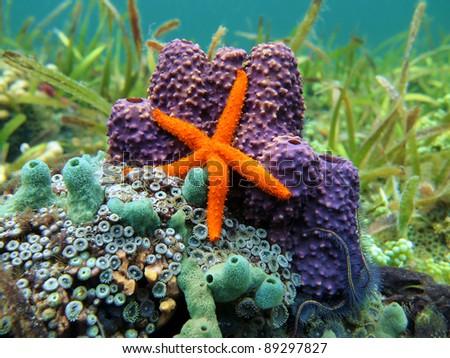 Comet sea star with colorful sea sponge and anemone, Caribbean sea, Costa Rica - stock photo