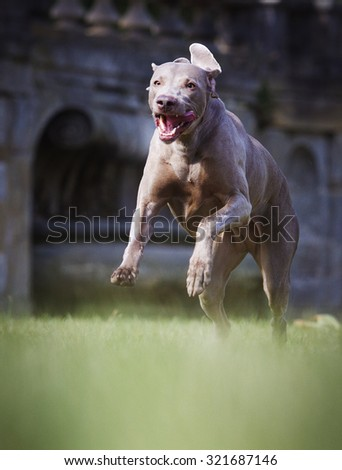 comic and crazy weimaraner dog or puppy dog dancing jump and flying running in castle park - stock photo