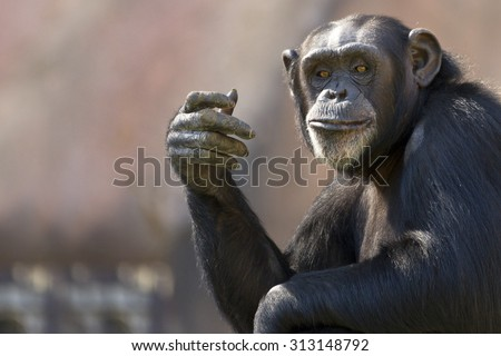 comical chimpanzee making a hand gesture with room for text - stock photo