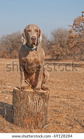 Comical image of a big Weimaraner dog sitting on top of a log like a cat - stock photo