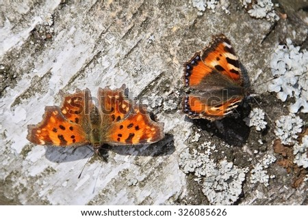 comma butterfly and small tortoiseshell  - stock photo