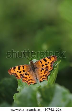 Comma butterfly Polygonia c-album - stock photo