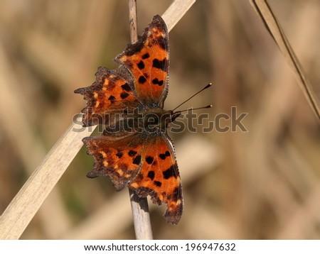 Comma Butterfly (Polygonia c-album) - stock photo