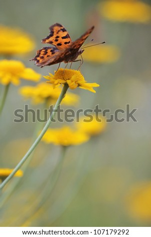 Comma Butterfly - Polygonia c-album butterfly and yellow camomile - stock photo