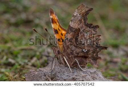 Comma butterfly (Polygonia c-album) feeding on animal droppings