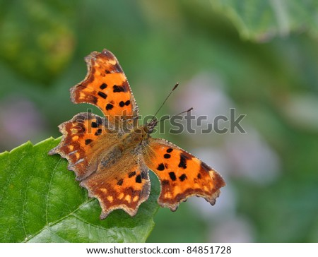 Comma butterfly (Polygonia c-album) on leaf - stock photo