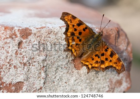 comma butterfly posing on the brick - stock photo