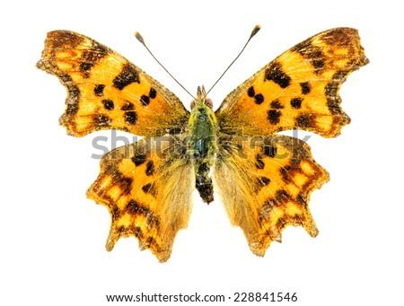 Comma (Polygonia c-album) butterfly - stock photo