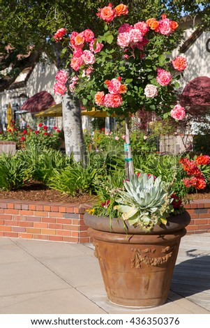 Commercial landscaping in upscale shopping district. Flowering rose tree in terracotta pot in the foreground - stock photo
