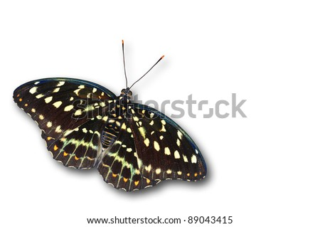 common archduke female butterfly color isolated on white