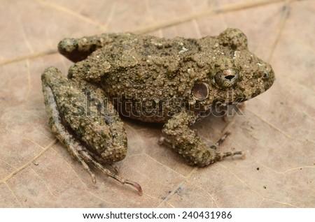 Common big-headed frog (Oreobates quixensis) - stock photo