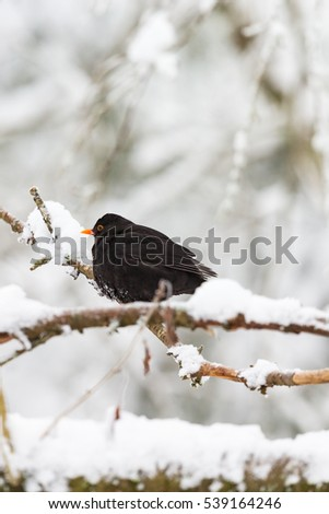 Common Blackbird in the snowy woods