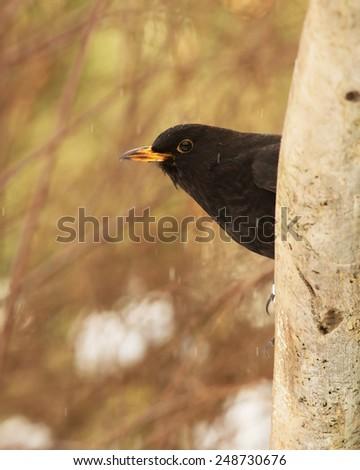 Common blackbird, male, brown black with yellow beak. - stock photo