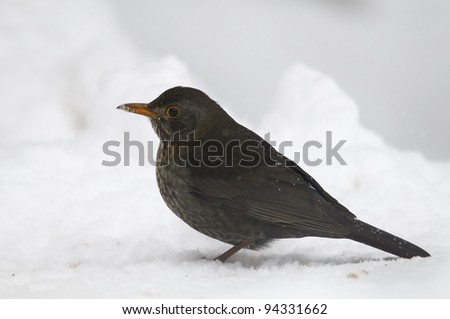 Common Blackbird (Turdus merula) - female